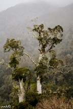 Kauri trees in the Jacksons rainforest of Arthur's Pass National Park