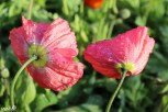 Poppies of all colors and varieties were planted on the Picton harborfront, including these pink ones