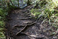 Roots gnarl across the path as we ascend to the site of Taranaki Falls.