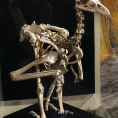 Golden Eagle Skeleton Diagram Toyota Trailer Wiring Harness Haast S New Zealand Birds Online Image Copy Mounted In Otago Museum Castle Rock Southland
