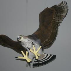 Golden Eagle Skeleton Diagram Vauxhall Astra G Wiring Haast S New Zealand Birds Online