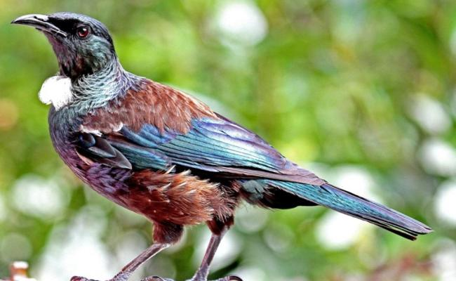 Tui New Zealand Birds Online