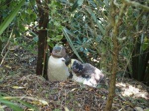 イエローアイドペンギン・ペンギンプレイス