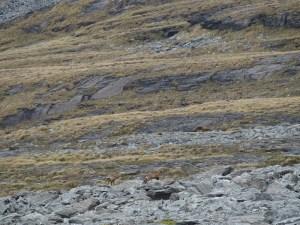 野生のシャモア