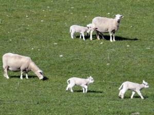 NZ南島の春の牧場は子羊が一杯