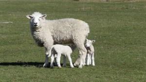 グレノーキーの牧場の子羊9月20日