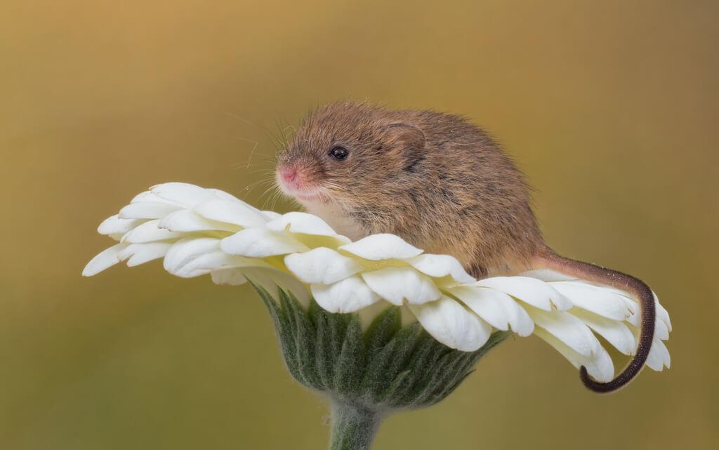 ニュージーランドの世界遺産の島で20万匹のネズミの駆除に成功