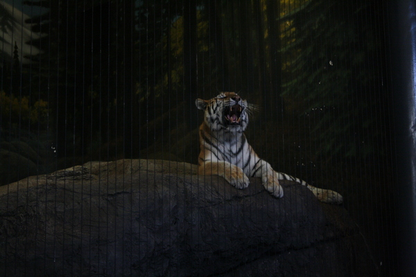 Tiger roaring at Chicago zoo