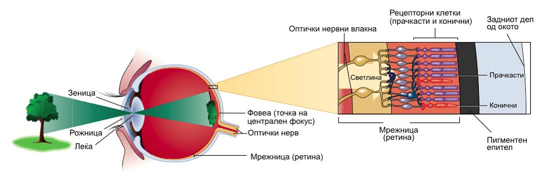 Слика 1. Фокусирање на видливата светлина и нејзино претворање во електричен сигнал со помош на фоторецептори и мрежа од неврони. © Cengage Learning2
