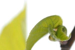 jong blad niet ontvouwd