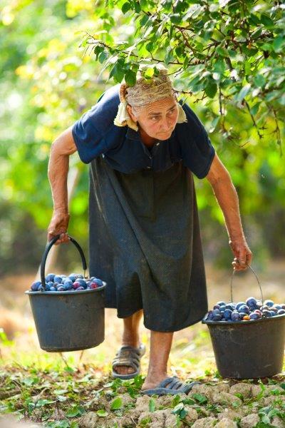 Oude vrouw raapt pruimen