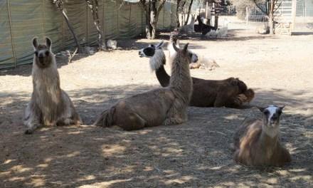 Visite insolite du corral des lamas | Six-Fours-les-Plages