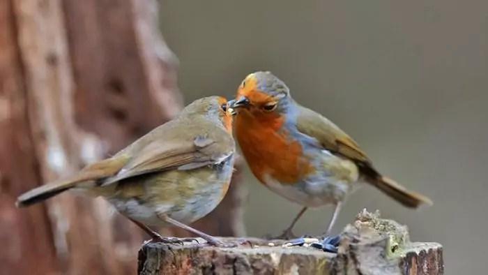 Самец и самка зарянки окрашены одинаково, сезонные вариации окраски незначительны. Зарянка (Erithacus rubecula): виды, самец и самка, фото
