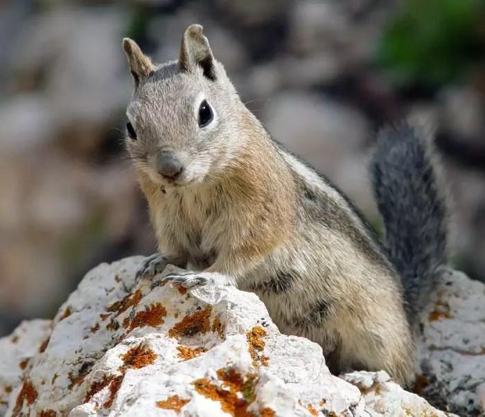 Squirus Depei (Sciurus Depei) фото