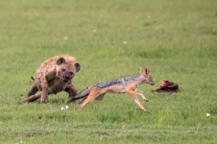 Leopárd állat. Leopárd életmód és élőhely