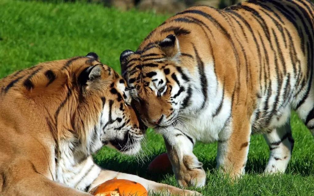 In de natuurlijke omstandigheden leeft de Amur Tiger gedurende ongeveer 15 jaar, in gevangenschap, leeft tot 20 jaar.