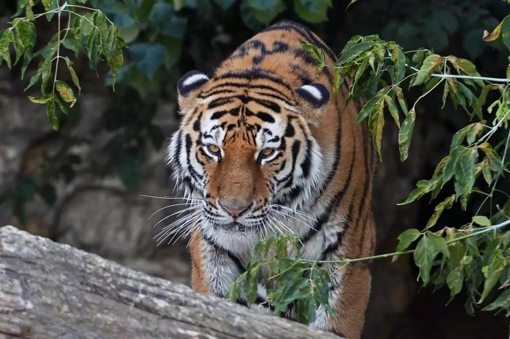 Seksueel dimorfisme van Amur Tigers manifesteert zich in het feit dat vrouwtjes altijd een beetje inferieur zijn aan mannen in omvang. Anders zijn, bij het kleuren en in uiterlijk, vertegenwoordigers van beide geslachten erg vergelijkbaar.