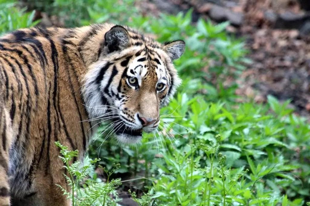 Amur Tiger is een typisch roofdier, het is erg sterk, heeft een organen van gevoelens ontwikkeld, maar de jacht betaalt vrij veel van zijn tijd, omdat het slechts een van de 10 van zijn pogingen is. Aan het slachtoffer wordt de tijger geselecteerd door Clarice, buigt de achterkant en rust de achterpoten op de grond. Kleine prooi doodt, onmiddellijk overbelast van de keel, en de belangrijkste eerste brengt naar de grond. Als de poging van de aanval is mislukt, volgt de tijger zijn mislukte offer niet. Hij sleept het karkas van het dode dier en probeert altijd haar overblijfselen te verbergen en andere dieren van haar te verplaatsen. Hij eet een tijger liegen, houdt de prooi van de poten.