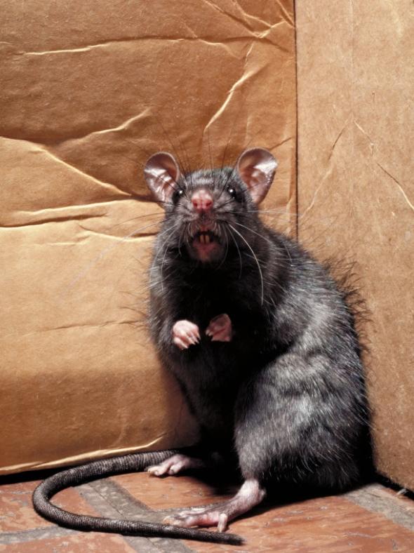Image result for large rat in room