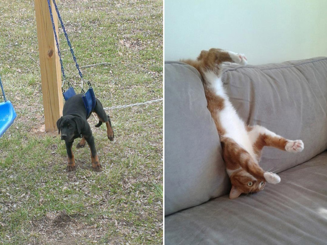 stuck pets, pets stuck pretending everything is cool, dog stuck swing, cat stuck couch