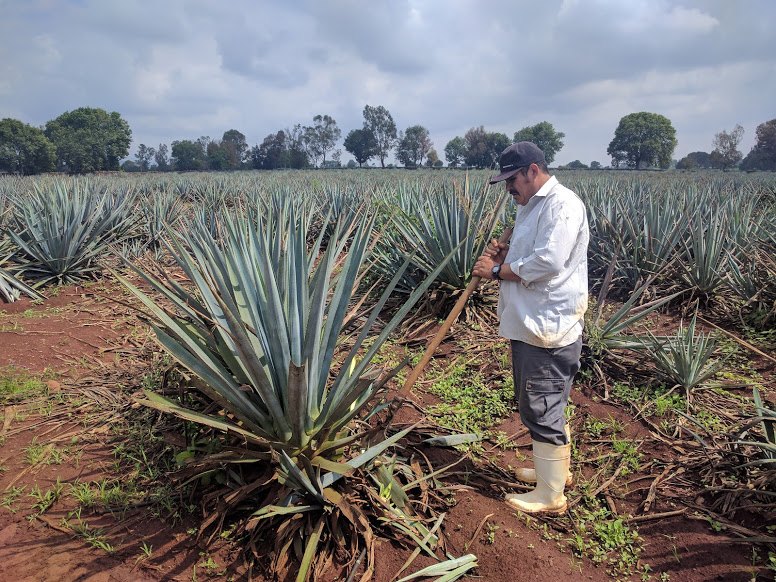 blue tequila agave