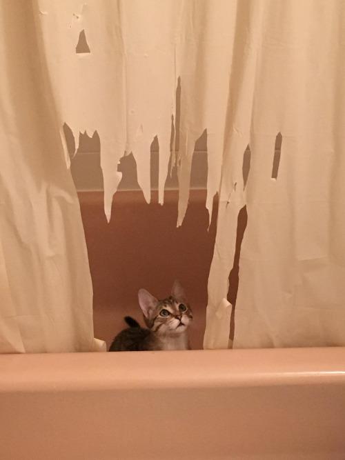 kitten rampage, kitten destroys shower curtain, evil kitten, guilty kitten