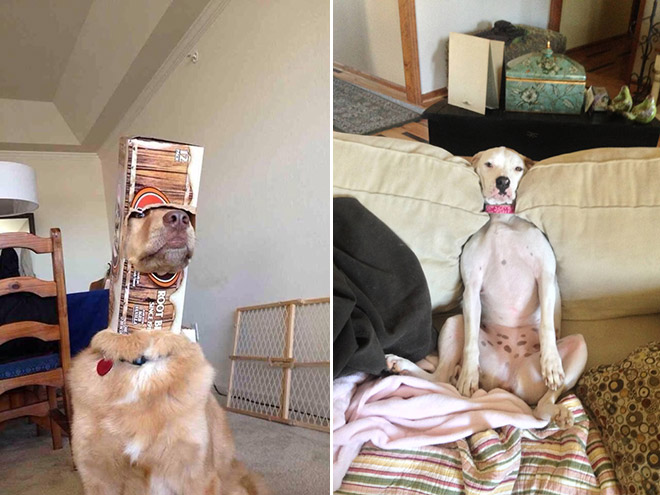 stuck pets, pets stuck pretending everything is cool, dog stuck soda box, dog stuck couch