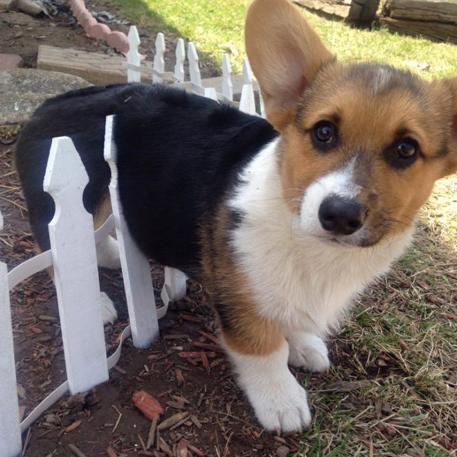stuck pets, pets stuck pretending everything is cool, corgi puppy in fence