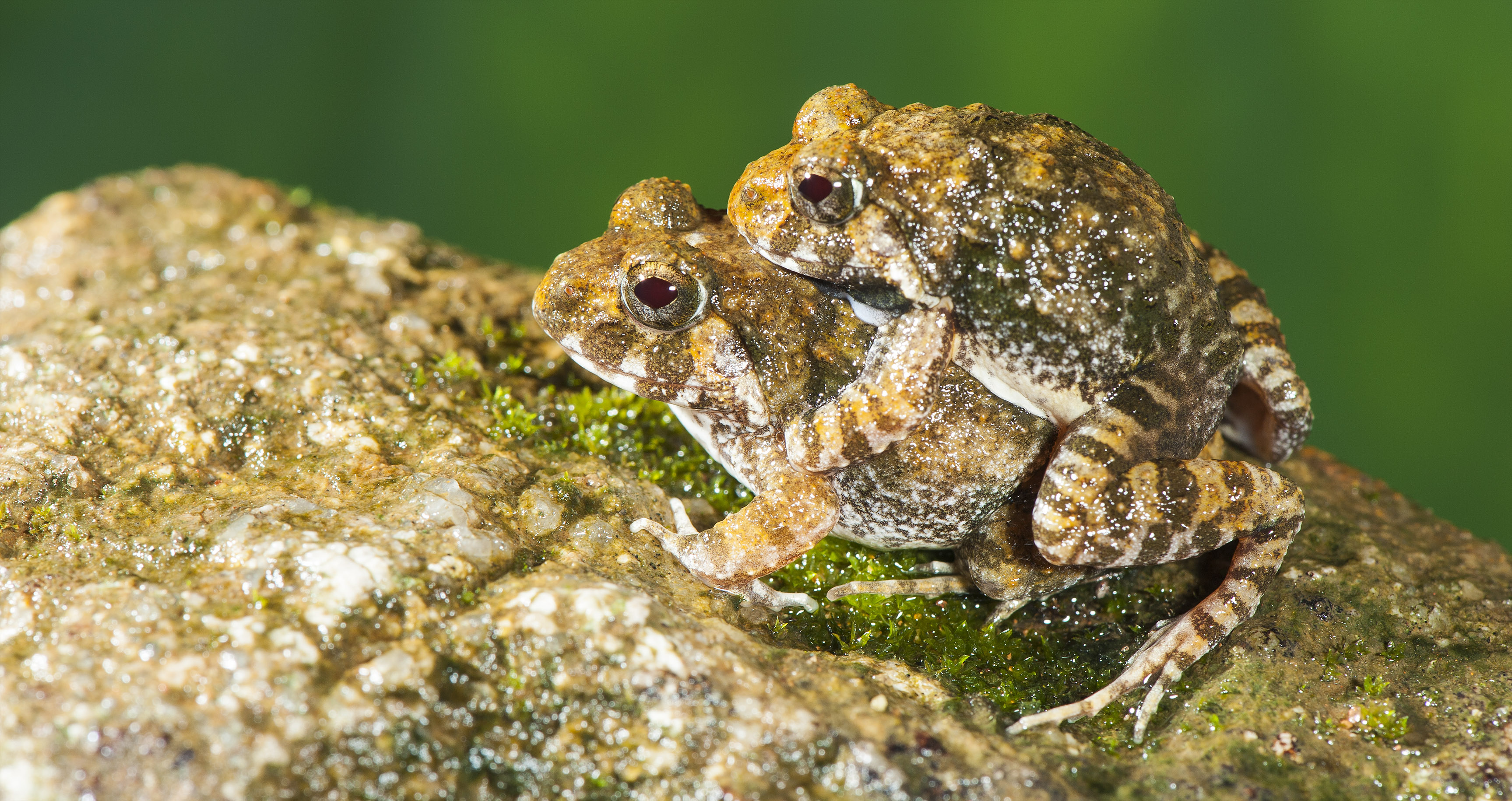 The Discovery Of Four New Frog Species Confirms Western