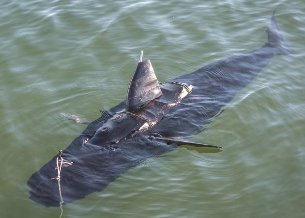 Il fuco della marina nuota come uno squalo per spiare sui nemici