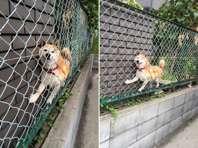 stuck pets, pets stuck pretending everything is cool, dog stuck fence