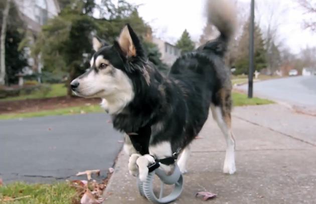 Il derby il cane ha ottenuto il prothethics della zampa 3D printed, ora lo guarda funzionare