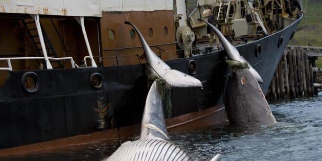 Ce qu'il reste à faire pour venir à bout de la chasse à la baleine.