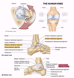 ligament in the knee [ 898 x 914 Pixel ]