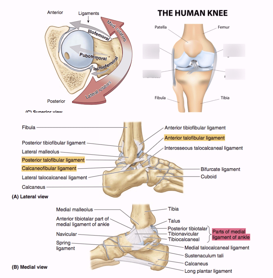 hight resolution of ligament in the knee