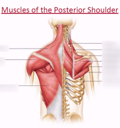 posterior shoulder muscle diagram [ 1024 x 768 Pixel ]