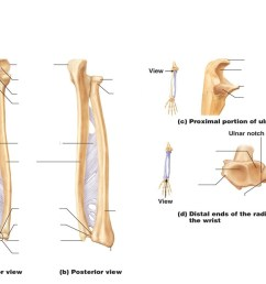 radius and ulna diagram quizlet ulna diagram neck [ 1024 x 768 Pixel ]