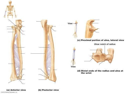 small resolution of radius and ulna diagram quizlet ulna diagram neck