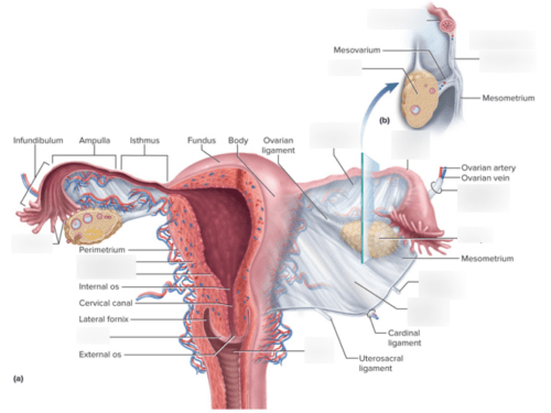 small resolution of ligaments of the female reproductive system labeled cbio 2210
