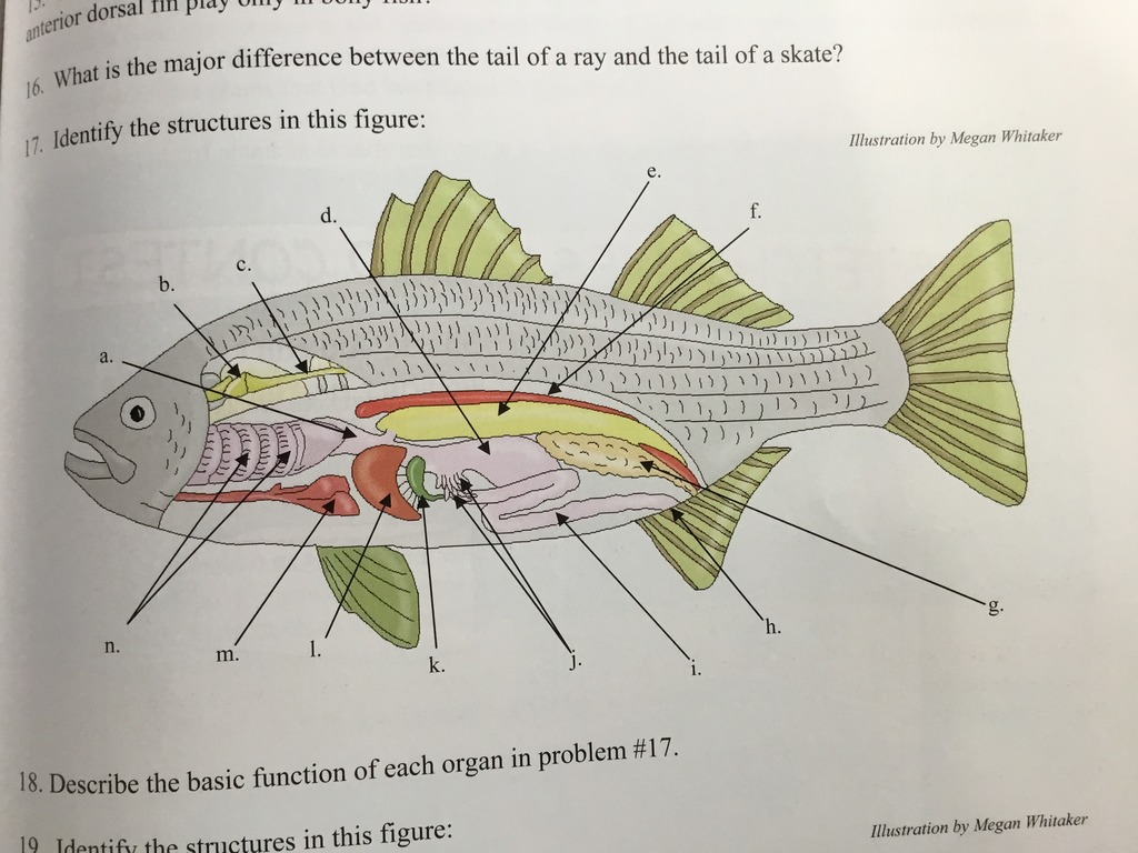 hight resolution of fish fin diagram