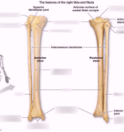 fibula diagram [ 1024 x 821 Pixel ]