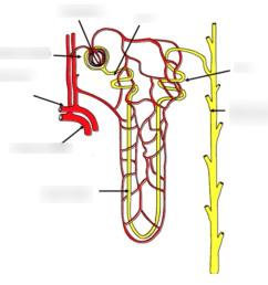 diagram of nephron [ 1014 x 918 Pixel ]