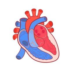 heart diagram [ 1024 x 1024 Pixel ]