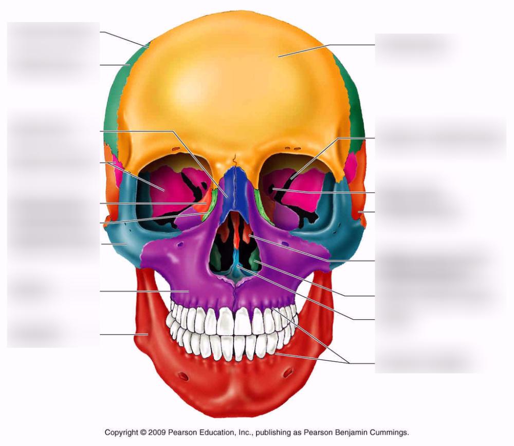 medium resolution of terms in this set 7 nasal bones