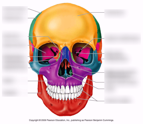 small resolution of terms in this set 7 nasal bones