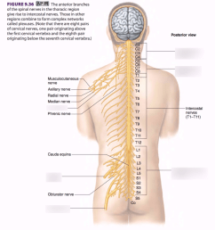diagram of spinal nerve system [ 928 x 1024 Pixel ]