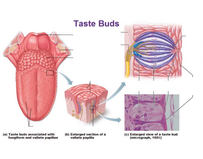 human taste buds diagram emg hz wiring diagrams quizlet location