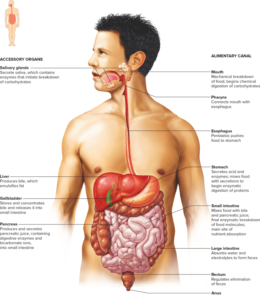 medium resolution of chapter 15 digestive system