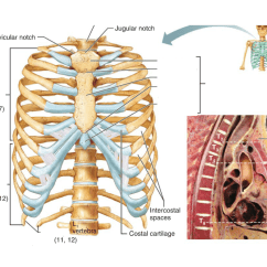 Diagram Of Skeletal Ribs 2007 Jeep Grand Cherokee Wiring Unit 3 System Axial Skeleton Quizlet Location