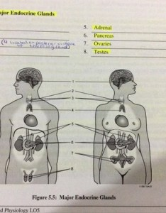 Nice work also location of major endocrine glands and hormones flashcards rh quizlet